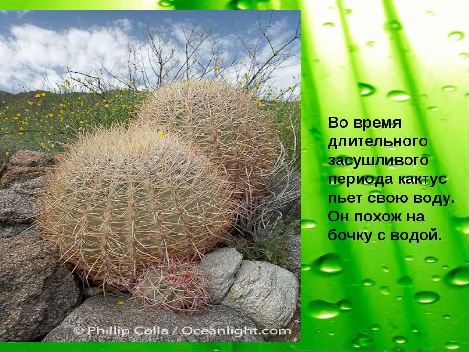 Во время длительного засушливого периода кактус пьет свою воду. Он похож на б...