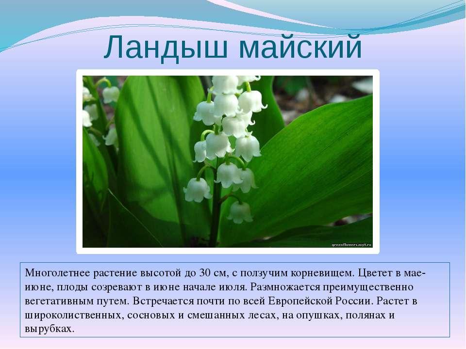 Ландыш майский Многолетнее растение высотой до 30 см, с ползучим корневищем. ...