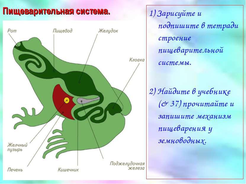 Пищеварительная система. 1) Зарисуйте и подпишите в тетради строение пищевари...