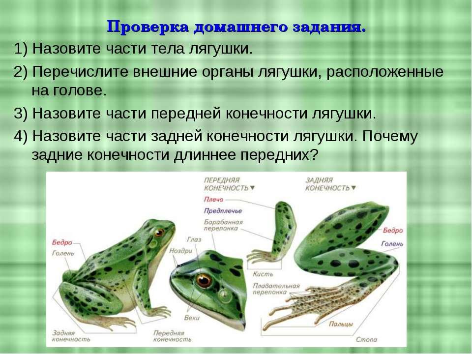 Проверка домашнего задания. 1) Назовите части тела лягушки. 2) Перечислите вн...