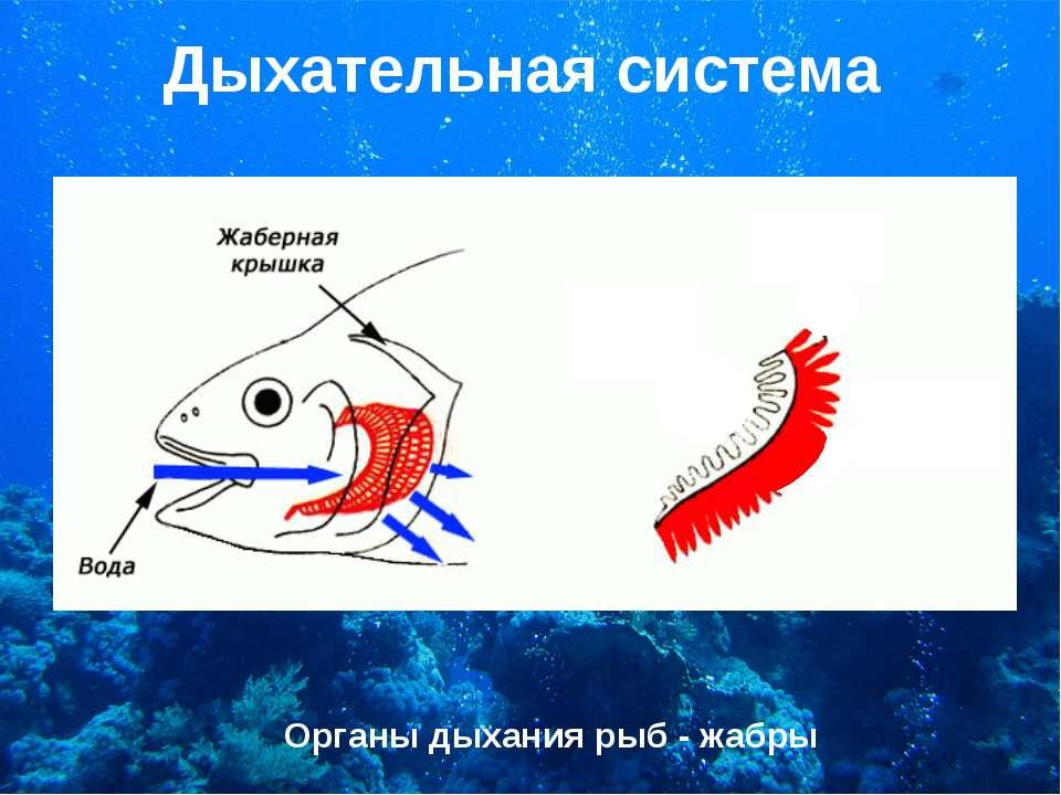 Дыхательная система Органы дыхания рыб - жабры