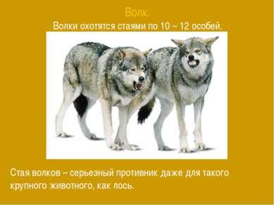 Волк. Волки охотятся стаями по 10 – 12 особей. Стая волков – серьезный против...