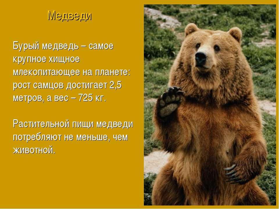 Бурый медведь – самое крупное хищное млекопитающее на планете: рост самцов до...
