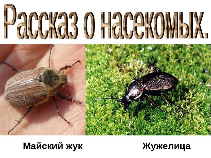 Майский жук Жужелица