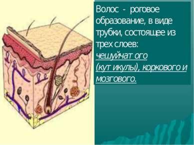 Волос - роговое образование, в виде трубки, состоящее из трех слоев: чешуйчат...