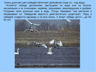 Очень длинная шея лебедей облегчает добывание пищи из – под воды. Питаются ле...