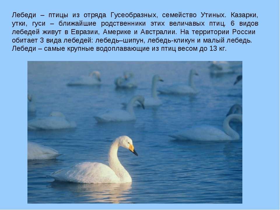 Лебеди – птицы из отряда Гусеобразных, семейство Утиных. Казарки, утки, гуси ...