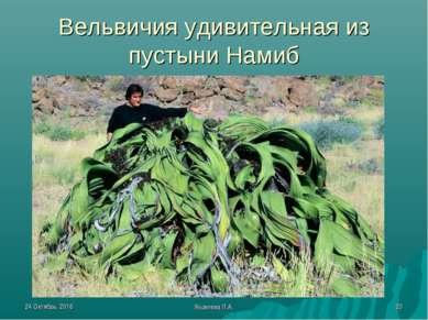 * Яковлева Л.А. * Вельвичия удивительная из пустыни Намиб Яковлева Л.А.