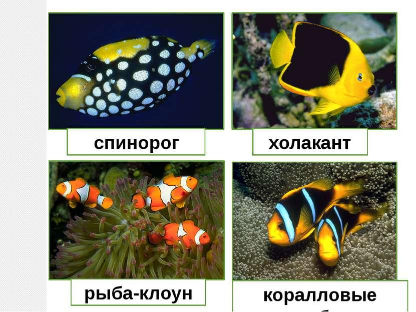 спинорог холакант рыба-клоун коралловые рыбки