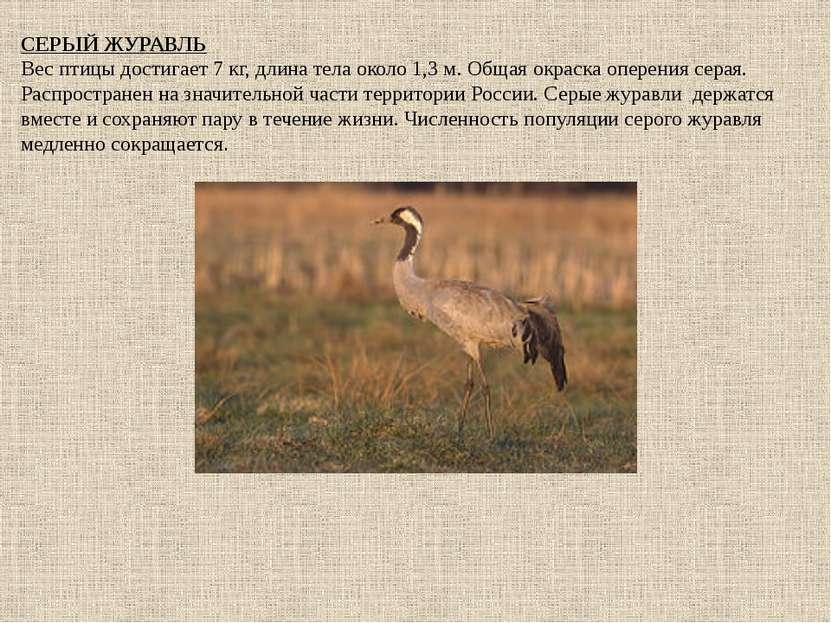 СЕРЫЙ ЖУРАВЛЬ Вес птицы достигает 7 кг, длина тела около 1,3 м. Общая окраска...