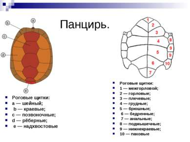 Панцирь. Роговые щитки: a — шейный; b — краевые; c — позвоночные; d — рёберны...