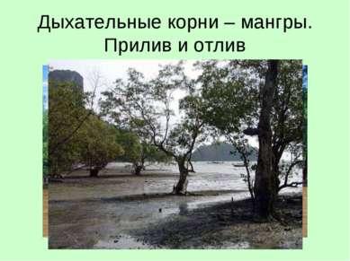 Дыхательные корни – мангры. Прилив и отлив