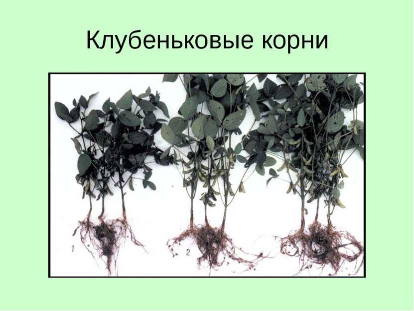 Клубеньковые корни