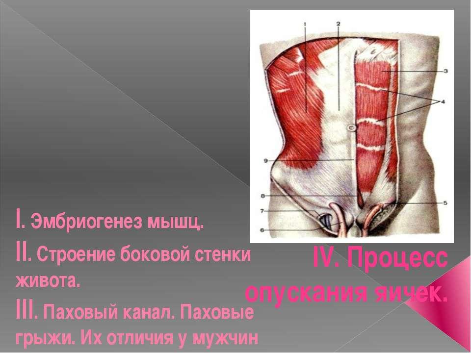 I. Эмбриогенез мышц. II. Строение боковой стенки живота. III. Паховый канал. ...