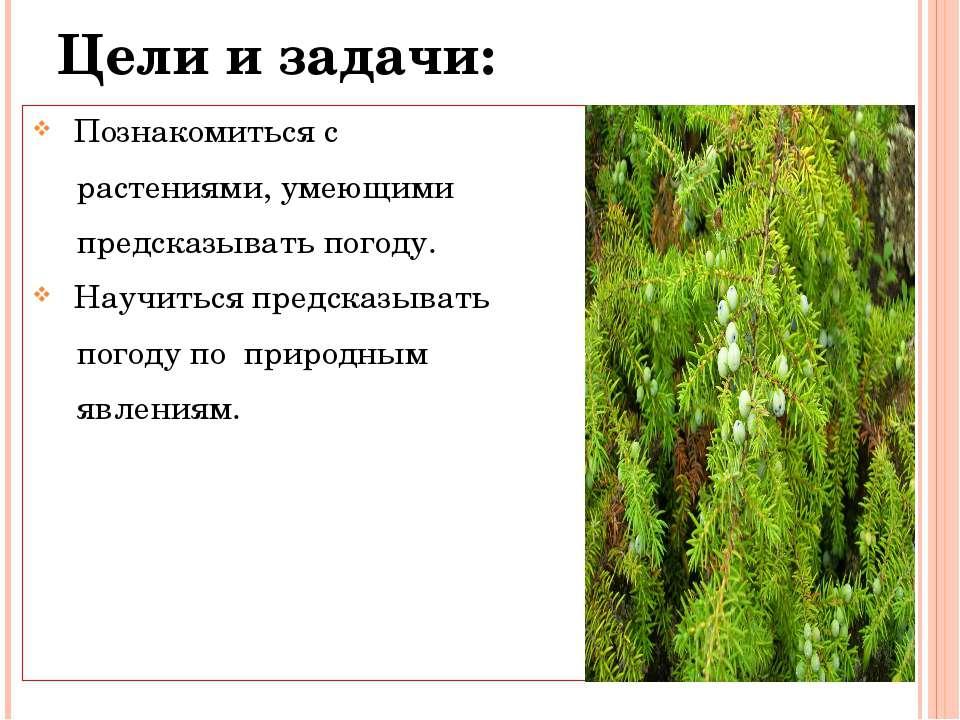 Цели и задачи: Познакомиться с растениями, умеющими предсказывать погоду. Нау...