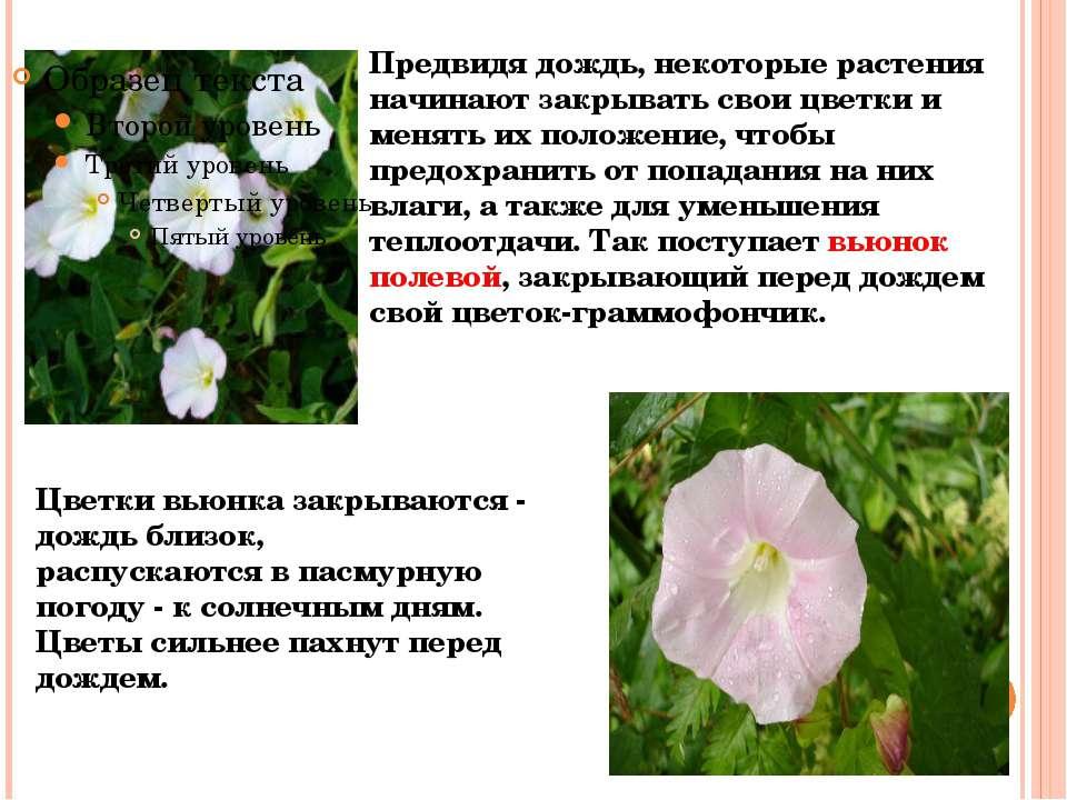 Предвидя дождь, некоторые растения начинают закрывать свои цветки и менять их...