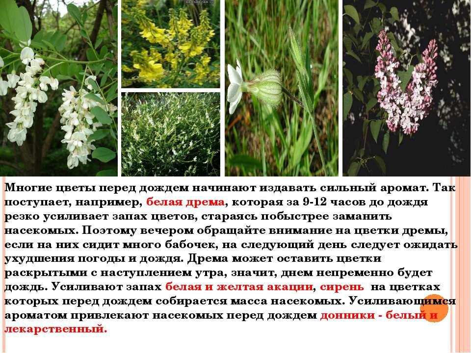 Многие цветы перед дождем начинают издавать сильный аромат. Так поступает, на...