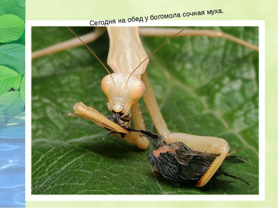 Сегодня на обед у богомола сочная муха.