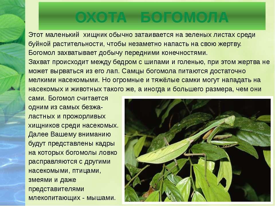 ОХОТА БОГОМОЛА Этот маленький хищник обычно затаивается на зеленых листах сре...