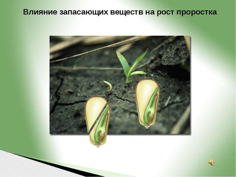 Влияние запасающих веществ на рост проростка