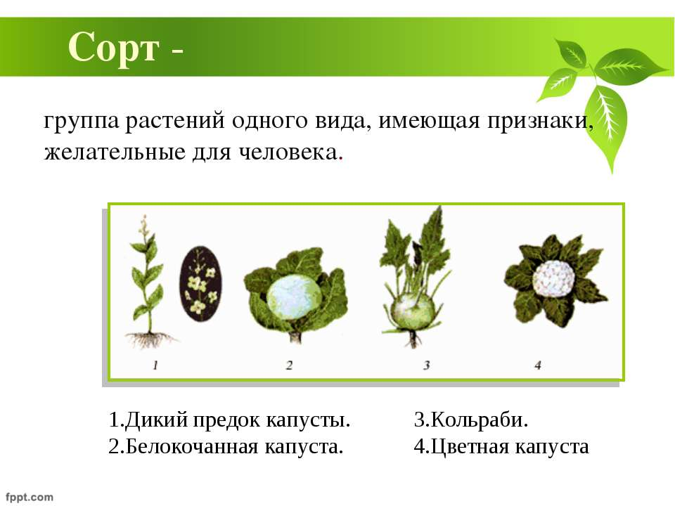 группа растений одного вида, имеющая признаки, желательные для человека. Сорт...