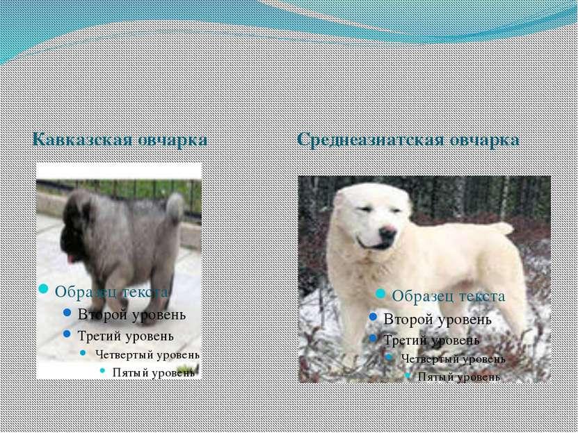 Кавказская овчарка Среднеазиатская овчарка