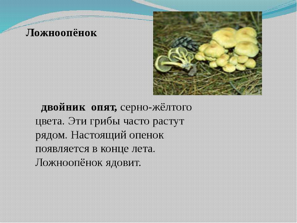 двойник опят, серно-жёлтого цвета. Эти грибы часто растут рядом. Настоящий оп...