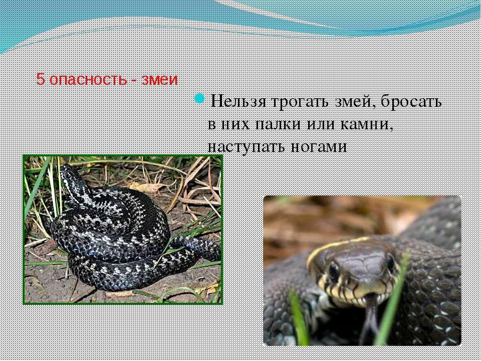 5 опасность - змеи Нельзя трогать змей, бросать в них палки или камни, наступ...