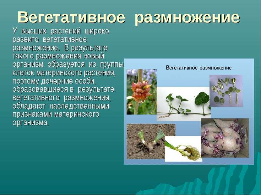 Вегетативное размножение У высших растений широко развито вегетативное размно...