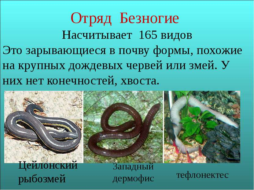 Отряд Безногие Насчитывает 165 видов Это зарывающиеся в почву формы, похожие ...