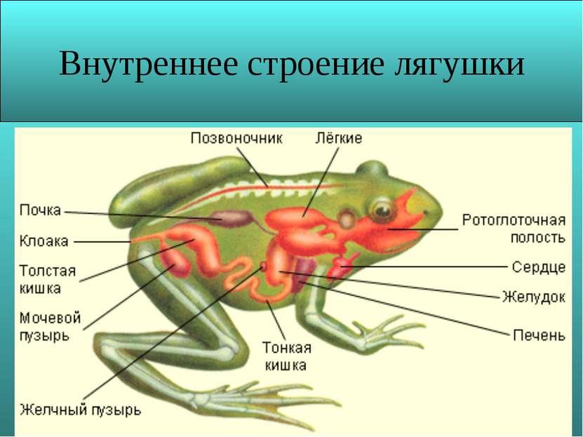 Презентация по биологии 7 класс лягушки