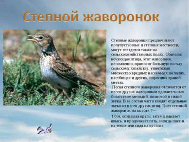 Степные жаворонки предпочитают полупустынные и степные местности, могут гнезд...