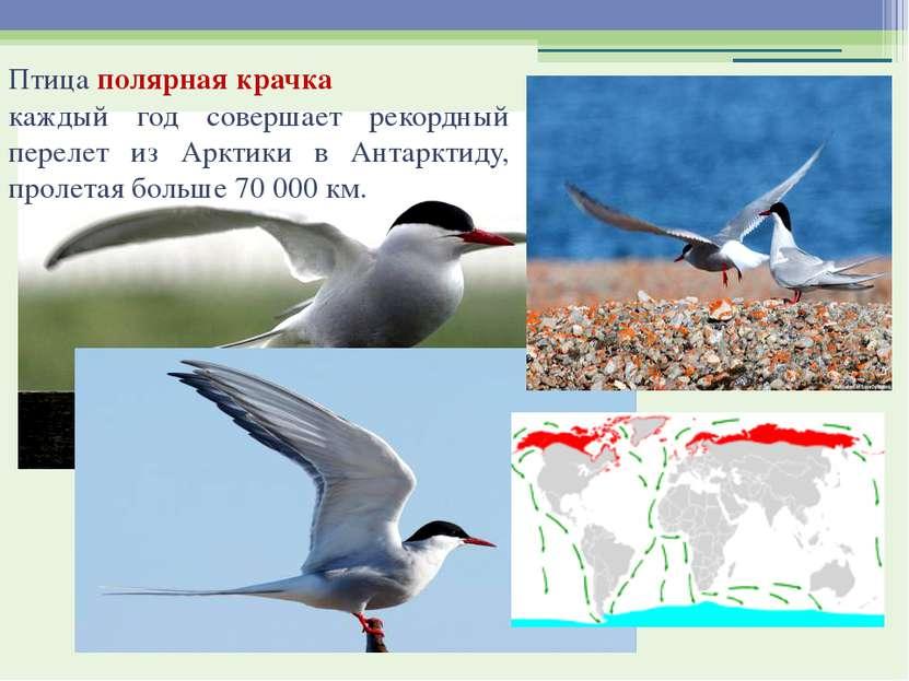 Птица полярная крачка каждый год совершает рекордный перелет из Арктики в Ан...