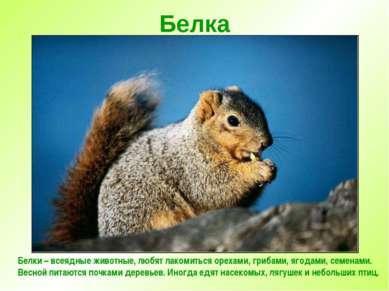 Белка Белки – всеядные животные, любят лакомиться орехами, грибами, ягодами, ...
