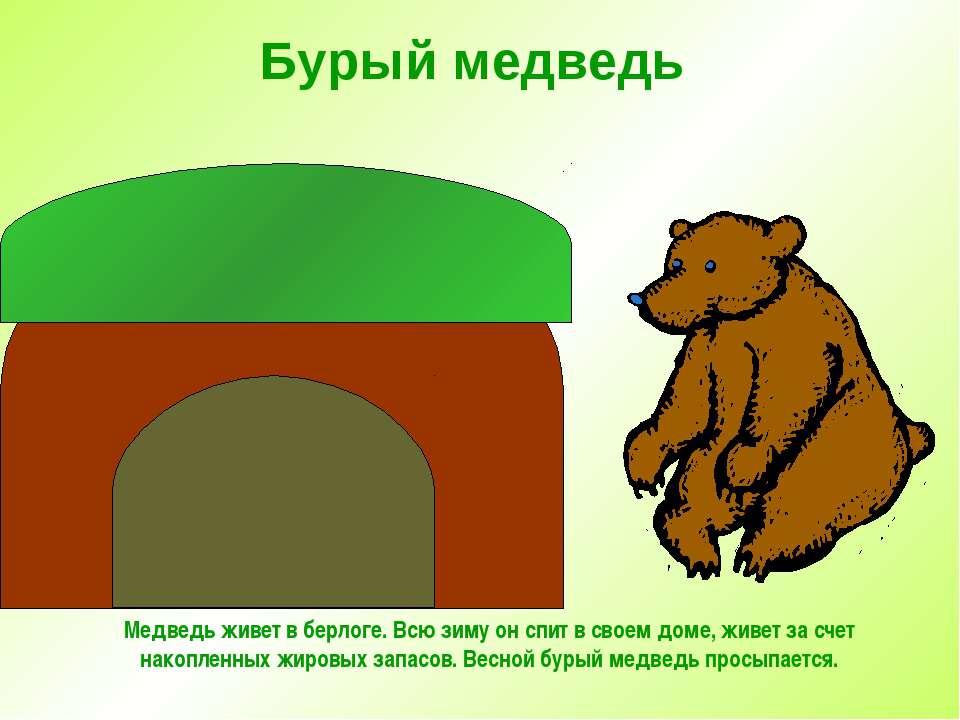 Бурый медведь Медведь живет в берлоге. Всю зиму он спит в своем доме, живет з...