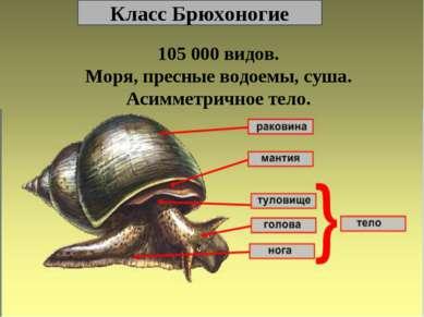 Класс Брюхоногие 105 000 видов. Моря, пресные водоемы, суша. Асимметричное тело.