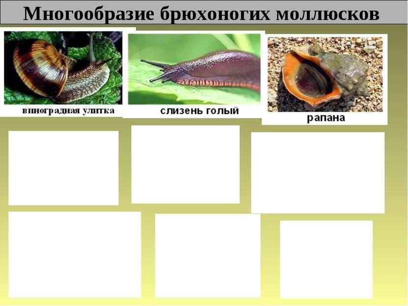 Многообразие брюхоногих моллюсков