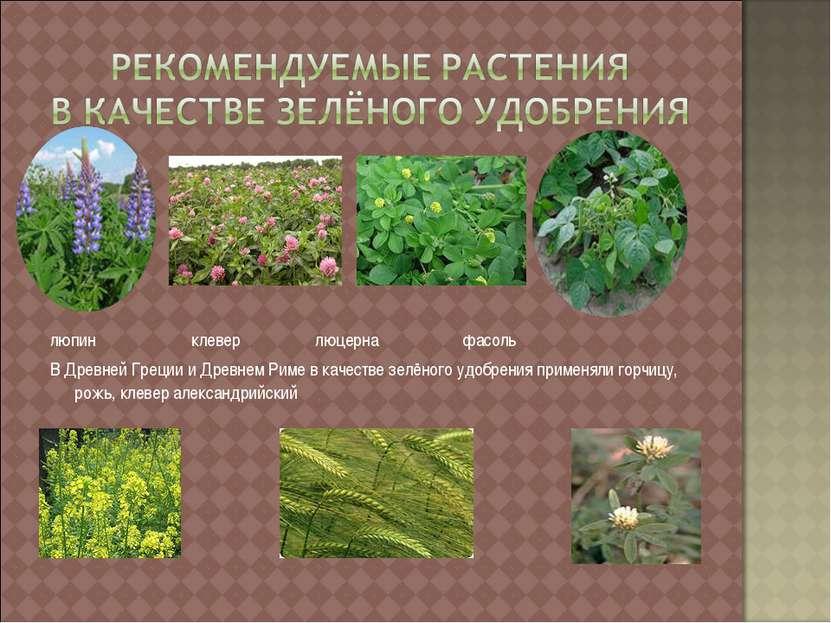 люпин клевер люцерна фасоль В Древней Греции и Древнем Риме в качестве зелёно...