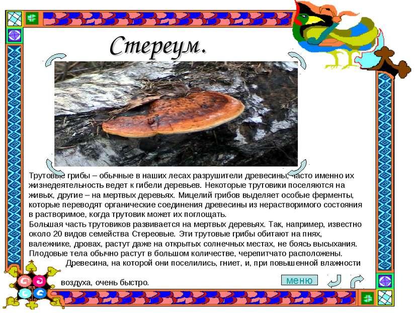Стереум. Трутовые грибы– обычные в наших лесах разрушители древесины, часто ...
