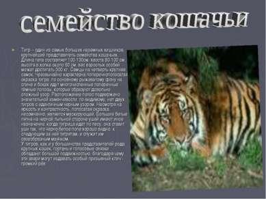 Тигр – один из самых больших наземных хищников, крупнейший представитель семе...
