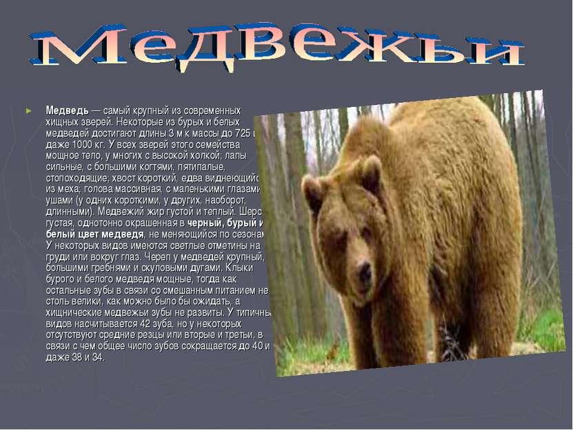 Медведь — самый крупный из современных хищных зверей. Некоторые из бурых и бе...