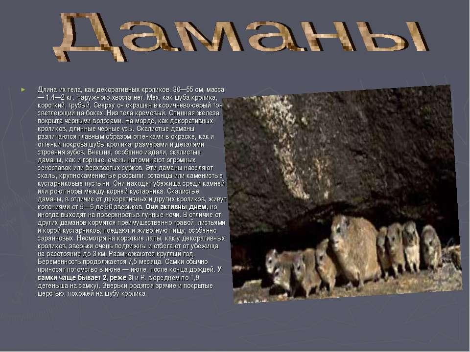 Длина их тела, как декоративных кроликов, 30—55 см, масса — 1,4—2 кг. Наружно...