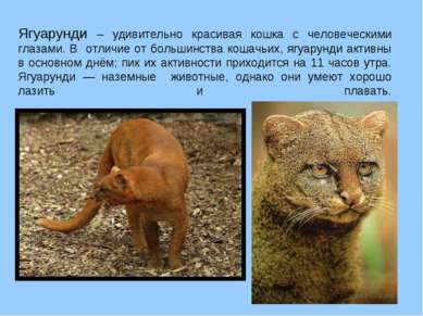Ягуарунди – удивительно красивая кошка с человеческими глазами. В отличие от ...