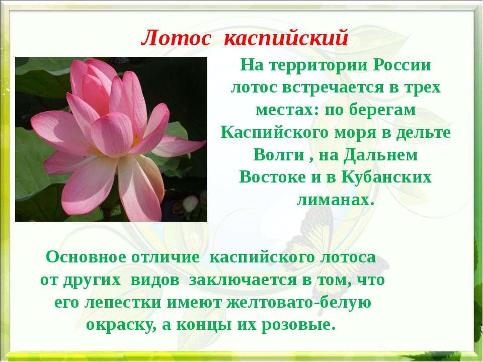 Лотос каспийский На территории России лотос встречается в трех местах: по бе...