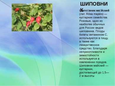 ШИПОВНИК Шипо вник ма йский (лат. Rósa majális) — кустарник семейства Розовые...
