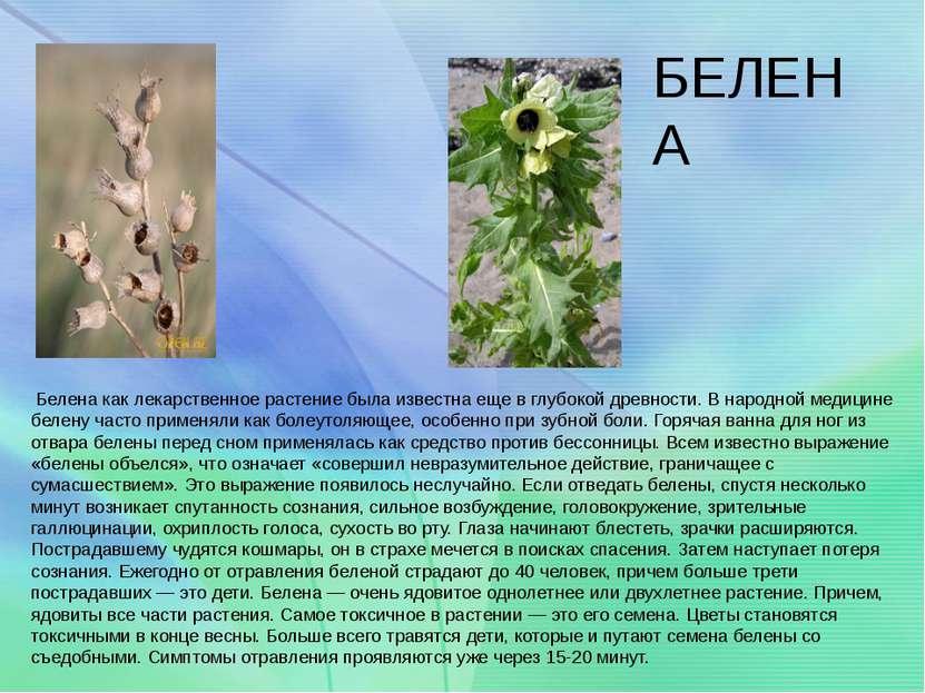 БЕЛЕНА Белена как лекарственное растение была известна еще в глубокой древнос...