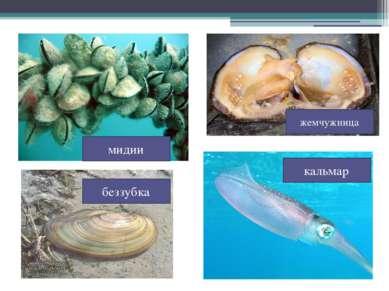 жемчужница беззубка кальмар мидии