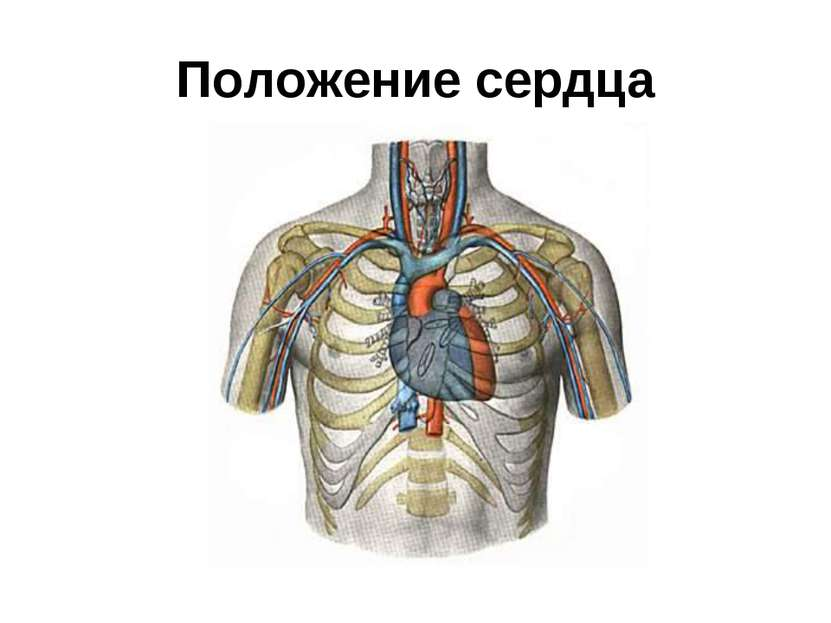 Положение сердца