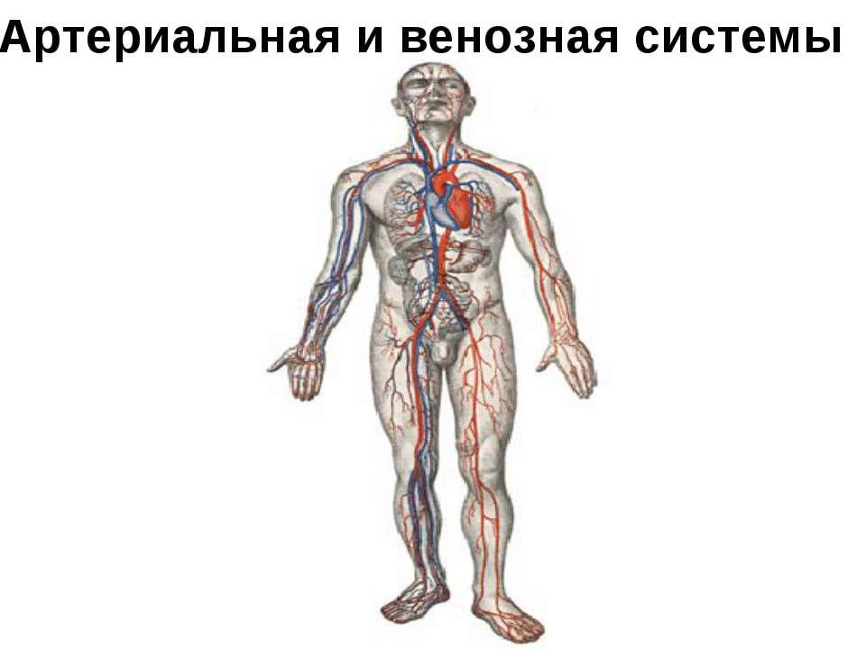 Артериальная и венозная системы