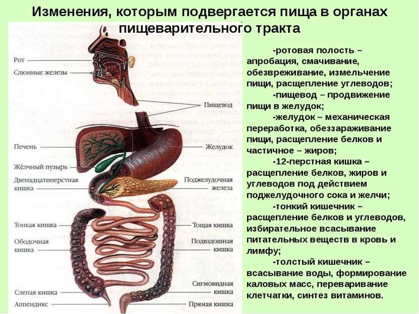 -ротовая полость – апробация, смачивание, обезвреживание, измельчение пищи, р...